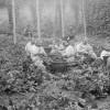 Cueillette du houblon dans la houblonnière
